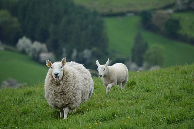ovce na louce